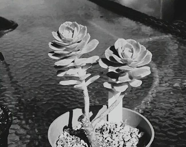 Desertrose Beautiful Blackandwhite