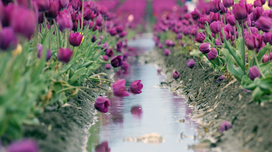 Plant Flowering Plant Flower Nature Selective Focus Freshness Purple Growth Beauty In Nature Day Water No People Pink Color Outdoors Close-up Vulnerability  Fragility Reflection Direction