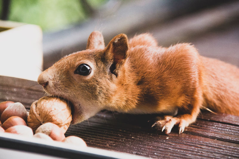 Close-up of squirrel eating nut