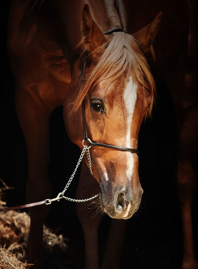 Close-up of brown horse standing against black background