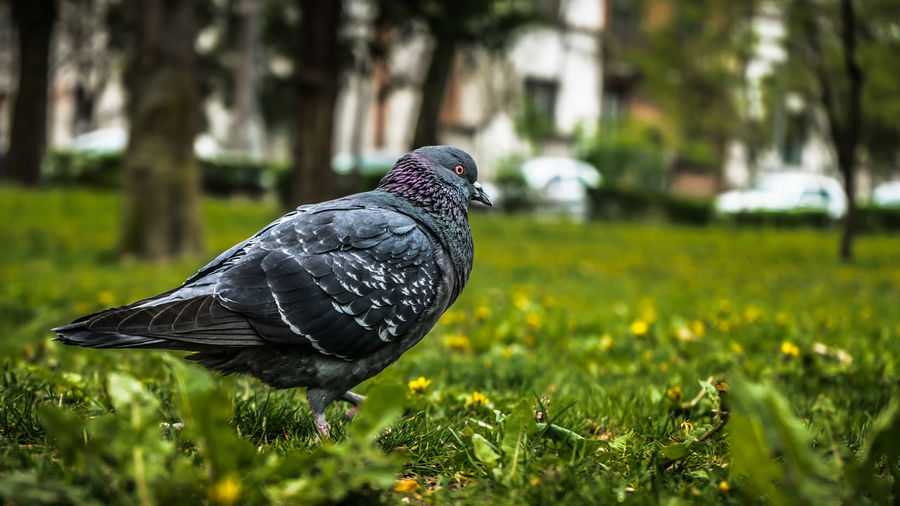 Pigeon on grass Grass Pigeon Green Animal Bird Beak Wildlife Nature Discarded Eye Pretty Forest Graceful Natural Ornithology  Wild Pompous Large Grey Elégance Posing Feather  Dove Up Pride Peace Background Haughty Detail Beautiful Rock-pigeon Migrate Public Outdoor Sitting Avian Spring Fauna Pose Arrogant Creature Rooftop Free Common Closeup Wing Gray Close Tail Blue