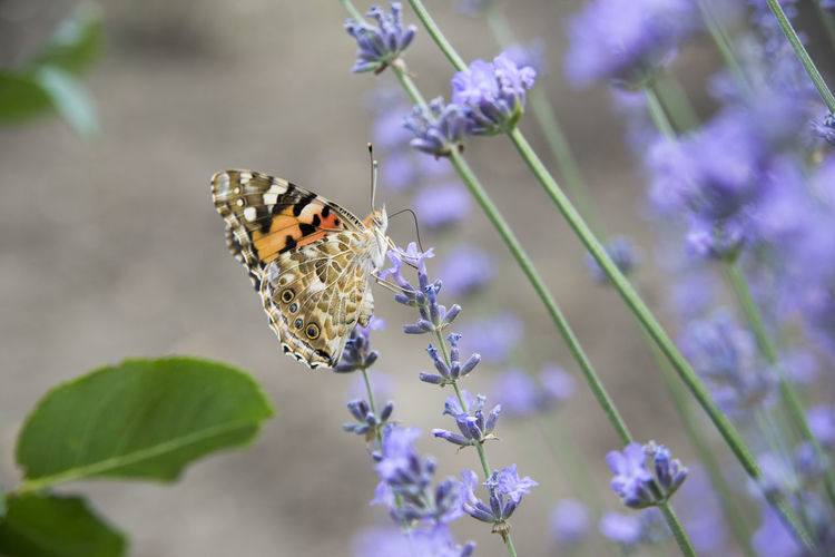 Close-up of butterfly on purple flowering plant