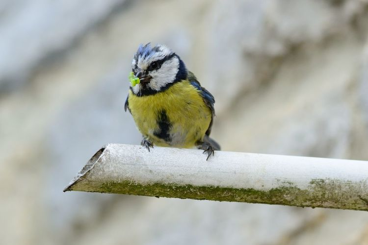 Low angle view of bluetit on pipe