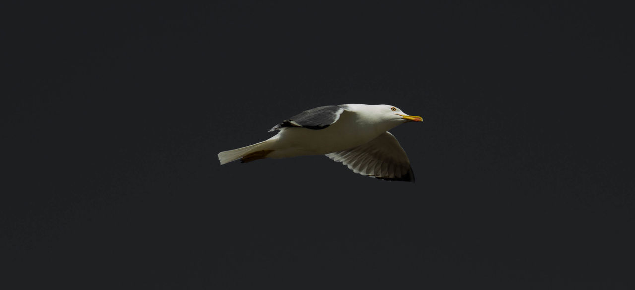 copy space, animal themes, one animal, animals in the wild, bird, animal wildlife, no people, black background, studio shot, nature, seagull, day, clear sky, flying, outdoors, close-up