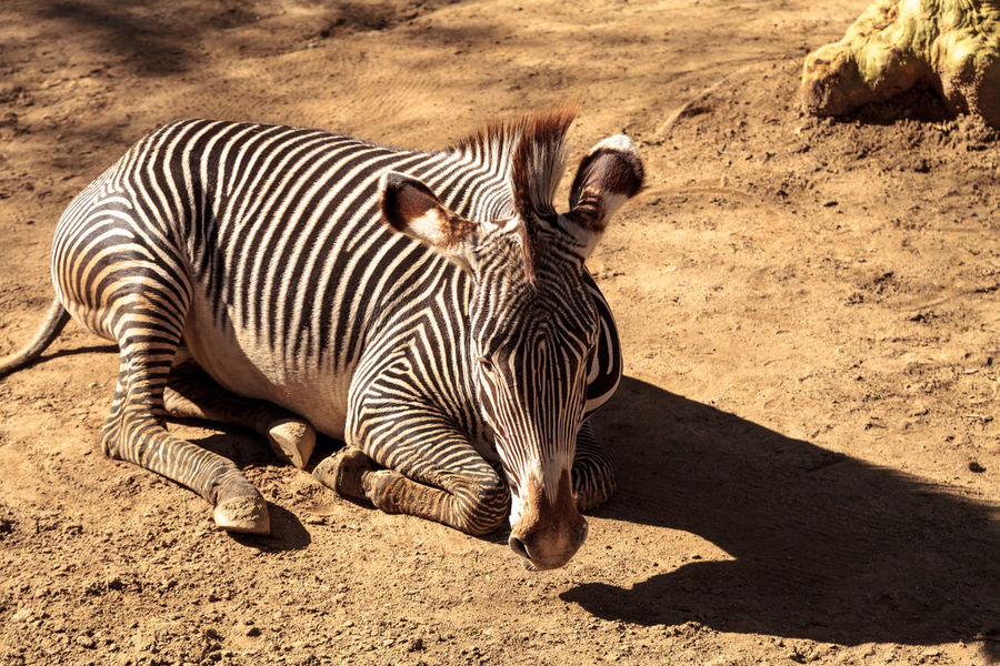 Grevy's zebra, Equus grevyi, relaxes in the sun after a dust bath. African Animal Themes Animals In The Wild Black And White Day Dirt Bath Dust Bath Endangered Species Equus Grevyi Grevy's Zebra Kenya Mammal Nature No People Outdoors Striped Wildlife Zebra Zebra