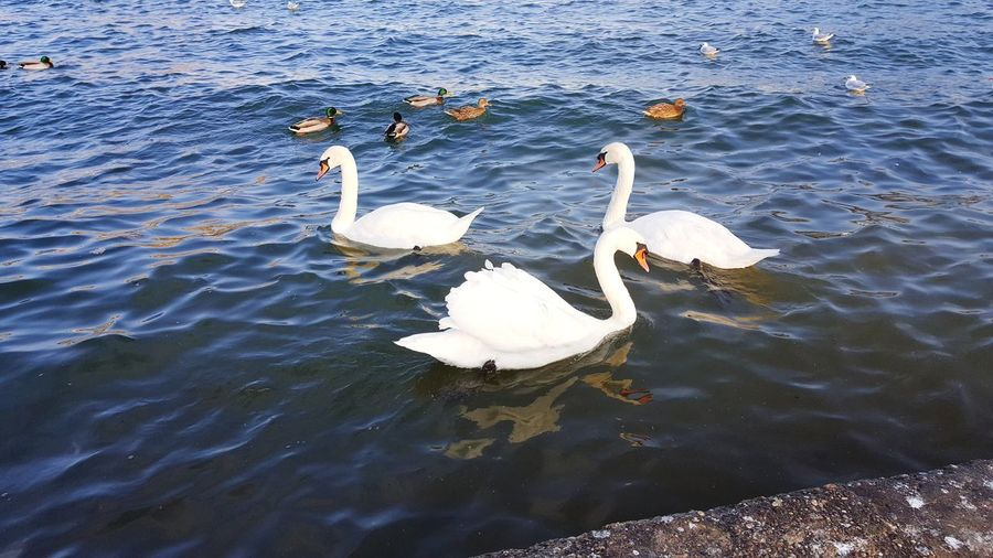Swan Animals In