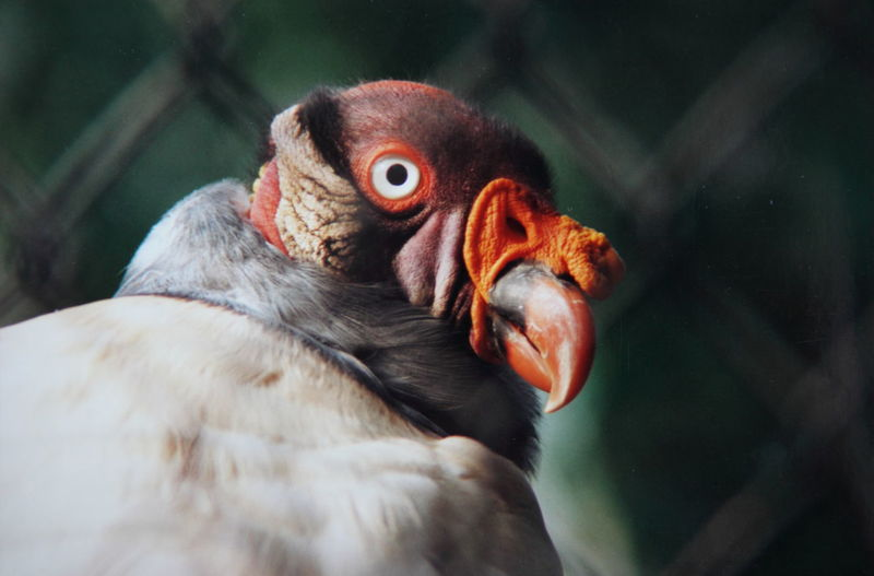 Close-Up Of King Vulture At Zoo
