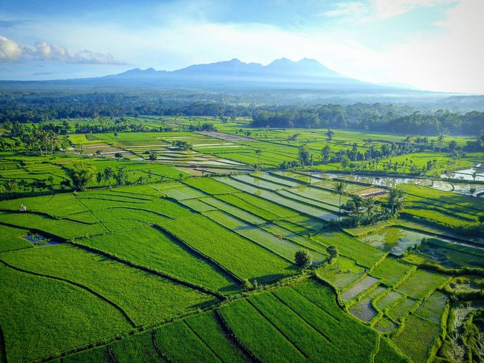Feel the pure air on sunny morning day. Keep this nature...!! #agus_harianto_photography #aerialview #ricefield #rinjanimountain #morningcoffee☕️ #green cloudysky Agriculture Rural Scene Field Landscape Farm Nature Outdoors Beauty In Nature Social Issues No People Hill Green Color Scenics Day Growth Freshness Food Terraced Field Sky Tree Agus_harianto_photography Cloud - Sky Beauty In Nature Nature Aerial View