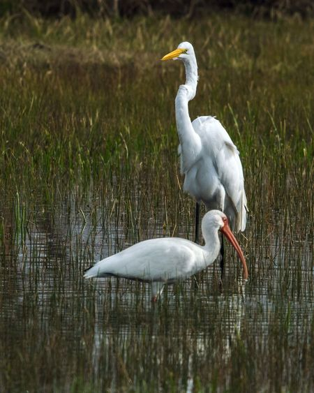 A Great Egret and a White Ibis in Pearland! Animal Themes Animal Wildlife Animals In The Wild Beauty In Nature Bird Close-up Day Grass Great Egret Ibis Nature No People Outdoors Reflection Water