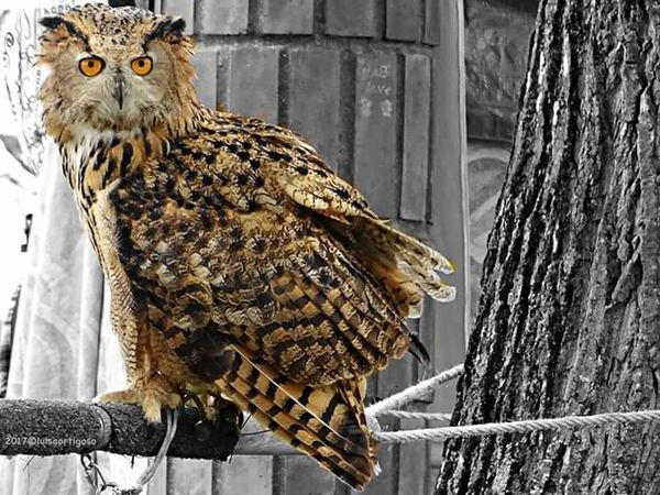 BufoReal Eagle Owl  Falcoaria Falconery Animals Birds Birds Of Prey