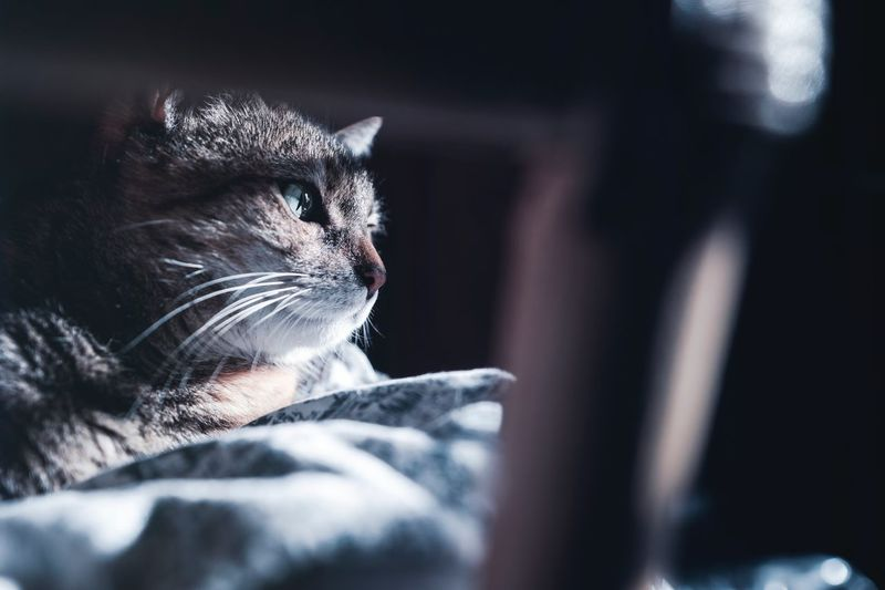 One Animal Mammal Animal Themes Pets Animal Domestic Domestic Animals Animal Body Part No People Furniture Selective Focus Close-up Home Interior Domestic Cat Relaxation Looking Away Cat Feline Indoors  Vertebrate
