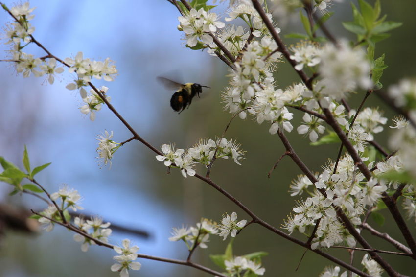 Save the Bees! One Animal Animal Wildlife Insect Nature Animals In The Wild Tree Flower Beauty In Nature Bee Pollination Fragility Close-up Bees Flower Wildlife Nature Bee 🐝 Bumble Bee Bumble Bee In Flight Frozen In Time Perspectives On Nature