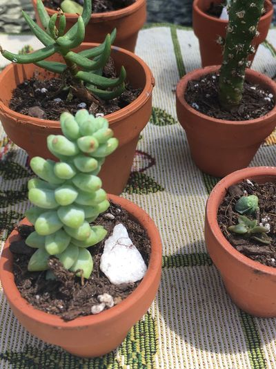 Cacti propagation by cuttings Succulents Propagation Cuttings EyeEm Selects Potted Plant Growth Succulent Plant Cactus High Angle View Green Color Beauty In Nature Variation Nature