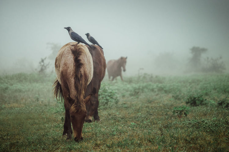 Crow sitting on horse at field in morning