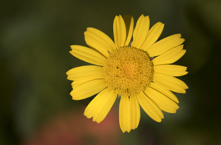 Daisy in the setting sun Beauty Beauty In Nature Daisy Flower Flower Head Flower Photography Flowers, Nature And Beauty Flowers,Plants & Garden Yellow Yellow Flower