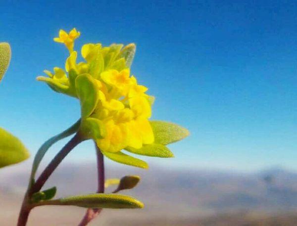 Desertflower Yellow Flower EyeEm Nature Lover Naturelovers Enjoying Nature Beautiful Nature Noedit Getting Inspired Flowers Beautiful Day