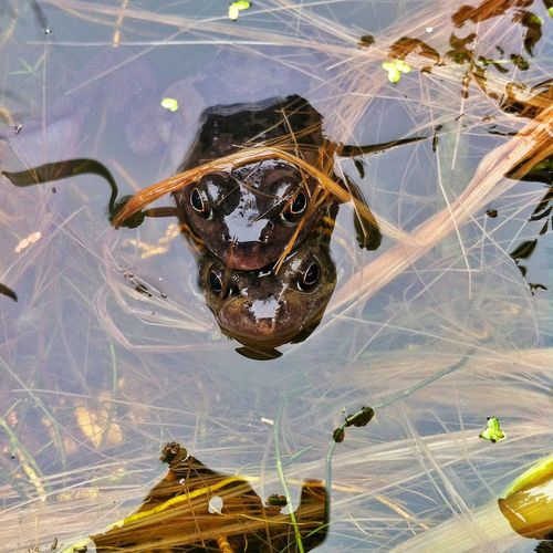 Animal Themes Animals In The Wild Close Up Close-up Courting Day Frogs Natural Pattern Nature No People Pond Pool Water Wildlife