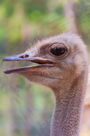 Close up face of the ostrich or common ostrich (Struthio camelus) is either one or two species of large flightless birds. BIG Ostrich Ostrich Face Struthio Camelus Animal Head  Animal Themes Animal Wildlife Animals In The Wild Beak Bird Close-up Common Ostrich Day Flightless Flightless Bird Flightless Birds Focus On Foreground Nature No People One Animal Ostrich Ostrich Farm Ostrich Head Outdoors