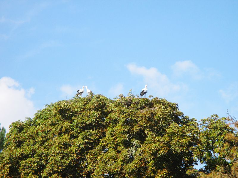 Storks on a big tree Storks In The Wild Tree Stork Storks Nest Bird Animals In The Wild Animal Themes Tree Sky Day Low Angle View Nature Cloud - Sky No People Animal Wildlife One Animal Growth Perching Outdoors Beauty In Nature Bird Of Prey