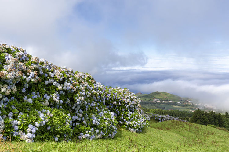 Beautiful wall of hydrangea flowers and the small village of Varzea in the distance in Sao Miguel. Sao Miguel Azores Açores Sete Cidades Hike Trek Trail Landscape Caldera Crater Lagoa Azul Verde Seca Alferes Flowers Hydrangea Ginetes Varzea Clouds Fog Travel Tourism Destination