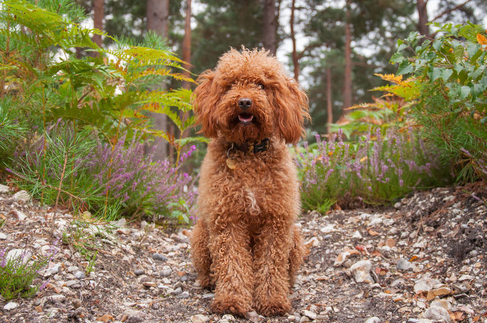 Jasper the Cockapoo Animal Hair Cockapoo Cute Dog  Cute Pets Dog Dog Portrait Forest Ginger Gingerhair Labradoodle Mammal One Animal Pet Pets Portrait Puppy Puppy Love Puppy❤ Sit Young Animal