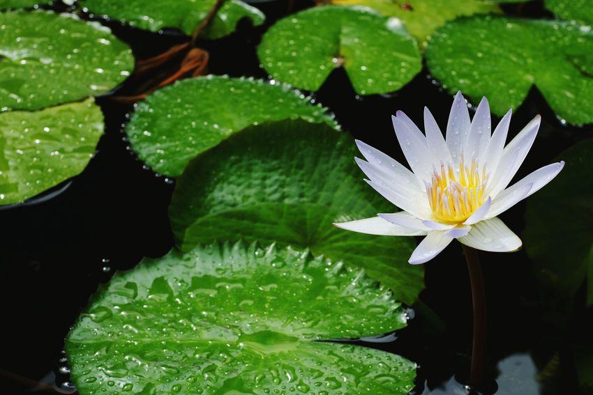 Lotus Pond Lotus Water Lily Flower