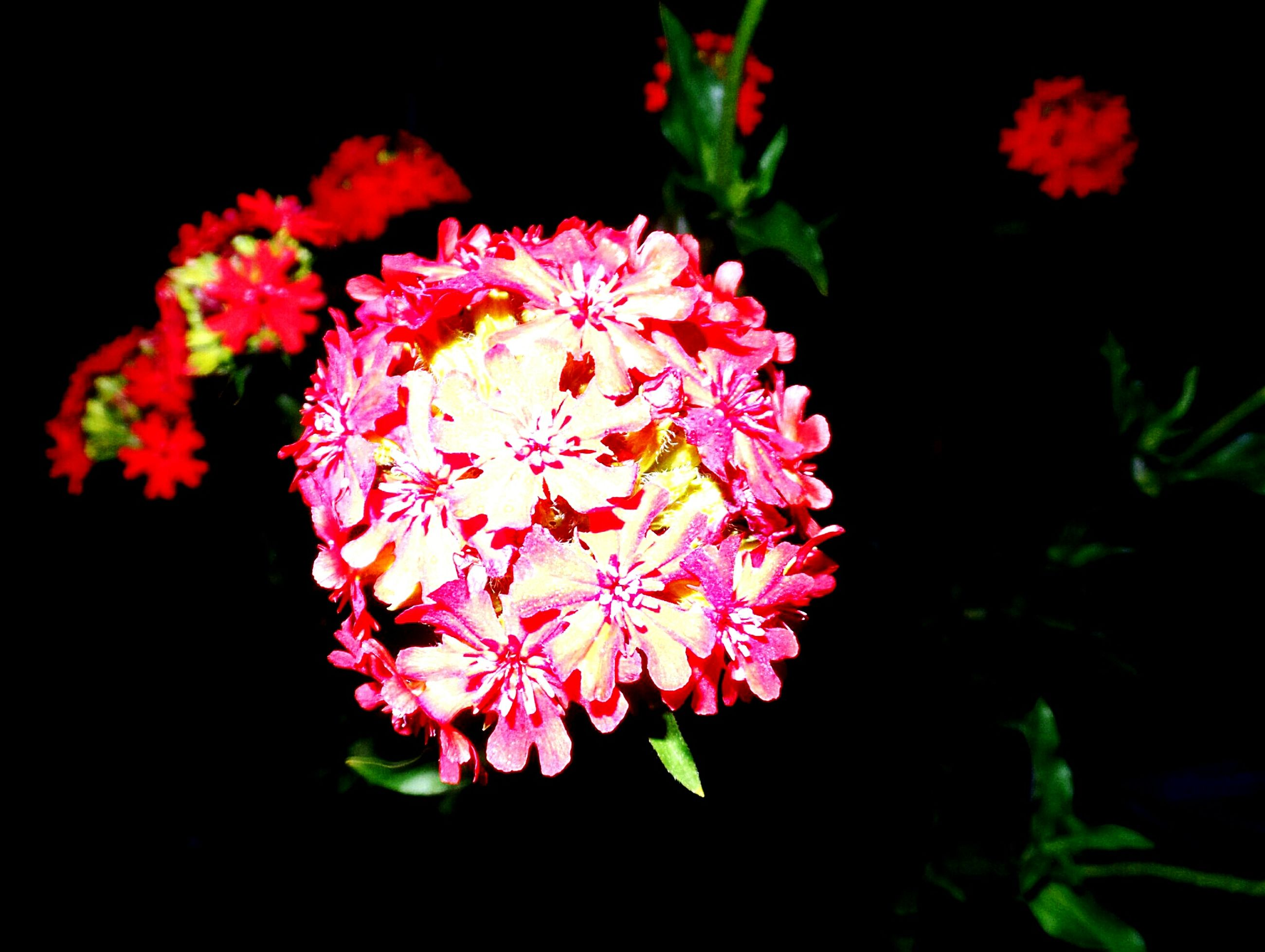 flower, beauty in nature, fragility, night, nature, petal, black background, freshness, growth, plant, flower head, no people, outdoors, close-up, blooming, lantana camara