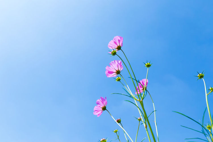 Colorful Cosmos and Blue Sky Beauty In Nature Blue Clear Sky Close-up Copy Space Day Flower Flower Head Flowering Plant Fragility Freshness Growth Low Angle View Nature No People Outdoors Petal Pink Color Plant Purple Sky Springtime Vulnerability