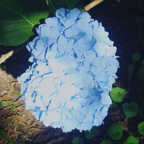 Morning Sun kissed hydrangea... Close-up Flower Head Blooming