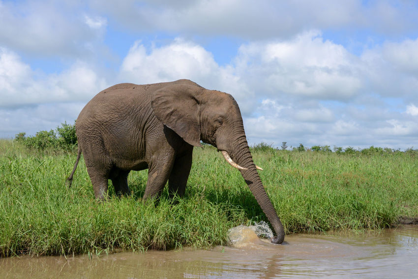 Safari in Kruger National Park, South Africa Kruger Park South Africa Wildlife & Nature African Elephant Animal Themes Animal Wildlife Animals In The Wild Beauty In Nature Elephant Kruger Krugernationalpark Krugerpark Landscape Mammal Nature One Animal Outdoors Safari Water