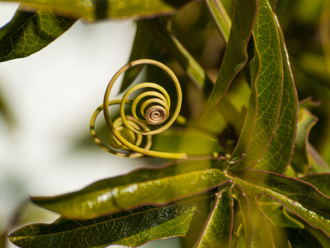 Abstract Nature Copy Space Nature Patterns In Nature Plant Plants Stretchy Tendril Abstract Backgrounds Bouncy Close Up Nature Elastic Elastic Spring Environment Natural Background Passiflora Passion Flower Space For Text Spiral Springy Tendril Plant Tendrils