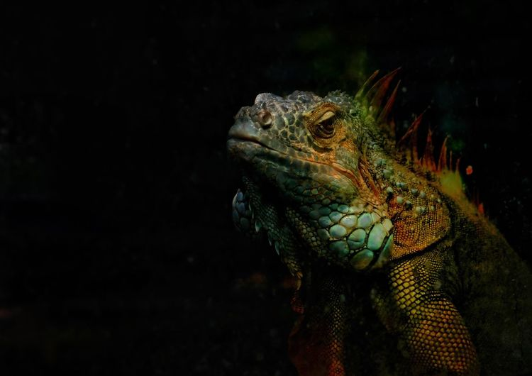 Close-Up Of Iguana Against Black Background