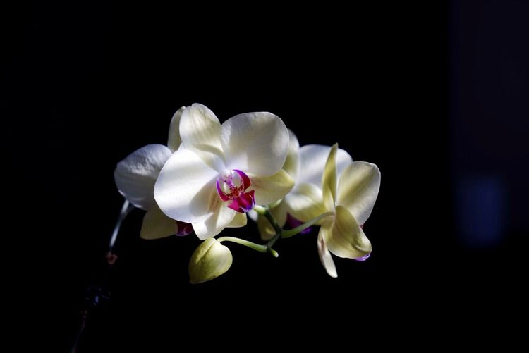 Close-up of white orchids blooming at night