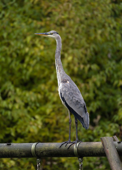 Animal Wildlife Bird Gray Heron Grey Heron  Heron No People One Animal Outdoors
