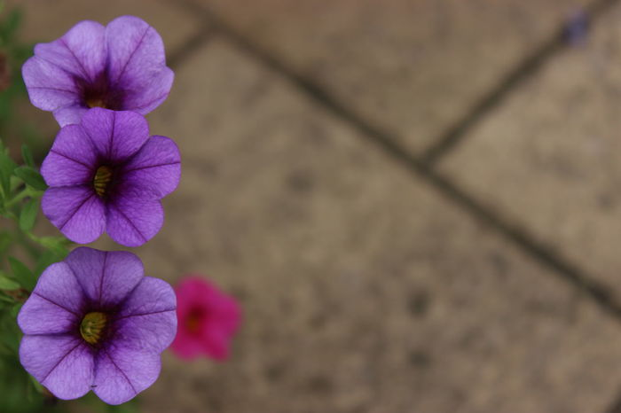#Contrast #Purple #PurpleFlower #blurrybackground #ruleofthirds #three Beauty In Nature Close-up Flower Head No People Petal
