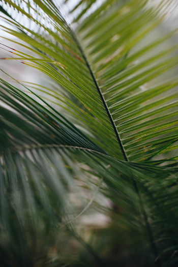 Backgrounds Close-up Day Freshness Frond Green Color Growth Leaf Leaves Lush - Description Nature No People Outdoors Palm Palm Leaf Palm Tree Tree