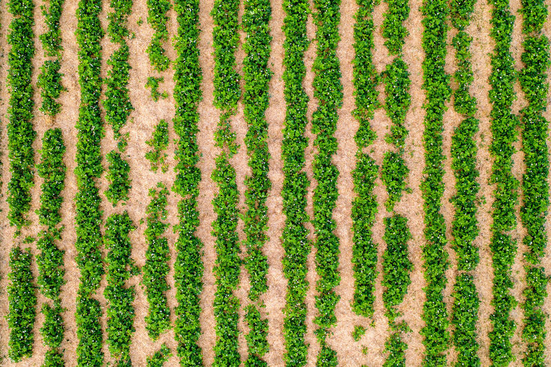 top view of a strawberry field Full Frame Backgrounds No People Rural Scene Landscape Textured  Nature Pattern Green Color Plant In A Row Grass Environment Growth Agriculture Abstract Field Textile Repetition Close-up Abstract Backgrounds Strawberry Farm Farmer Top View Aerial View