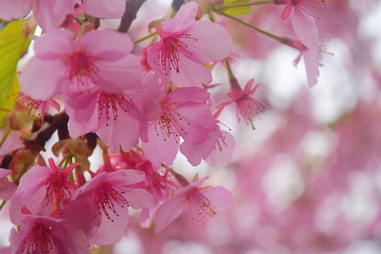 Showcase March Pink Bokeh EyeEm Nature Lover 春 Spring Time Blossom 桜