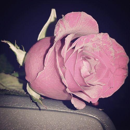 💚🌹🌿 Rosé Redrose  Flower Flowers Instadaily Instalife Instagood Car Rosa Floweroftheday Bestpicture Goodtime GoodTimes Instagood Instalife Lovely Dailypic Photooftheday Instamood Floweroninstagram RedFlower Goodtime GoodTimes Bestoftheday