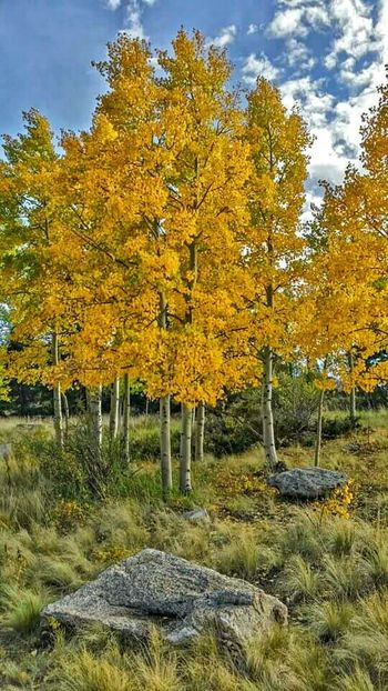 Check This Out Aspen Fall Colors Nature Trees Wilkersonpass Colorado