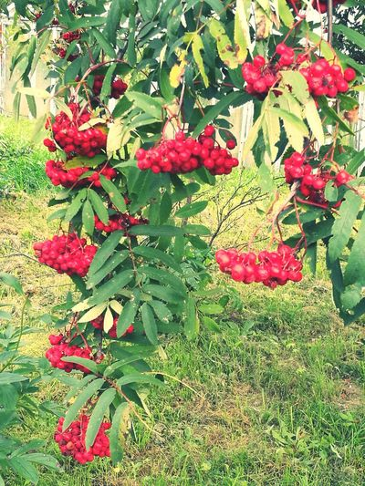 Rowan Rowanberries Rowan Tree Rowantree Beauty In Nature Nature Green Color Latvia Latvija Lovelatvija Autumn Autumn Colors