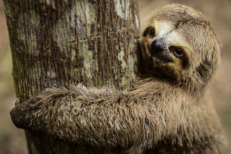 Close-up of three-toed sloth on tree trunk