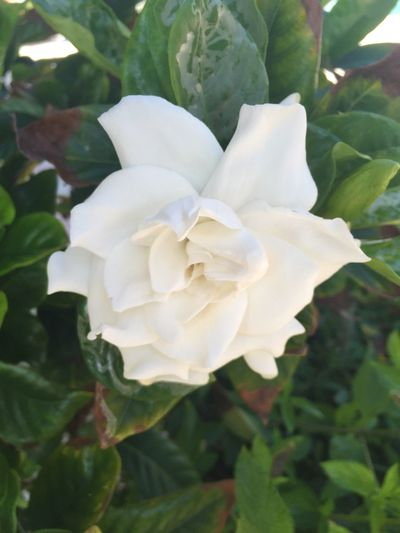 White gardenias Gardenia Flower Petal Nature Beauty In Nature Fragility Flower Head Plant White Color Rose - Flower Leaf No People Close-up Growth Outdoors Blooming Freshness