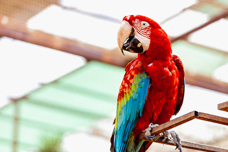 Low angle view of scarlet macaw perching on metal