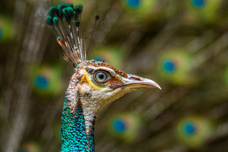 Close up of blue peacock head