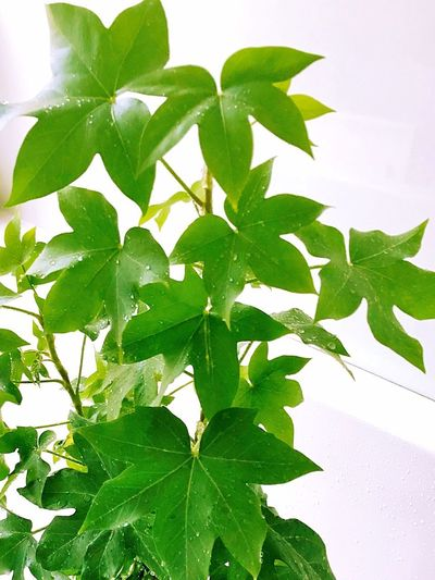 Leaf Green Color Plant Close-up White Background Indoors  No People Freshness Nature Day