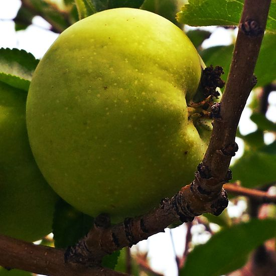 Apple Tree Summer Things That Are Green