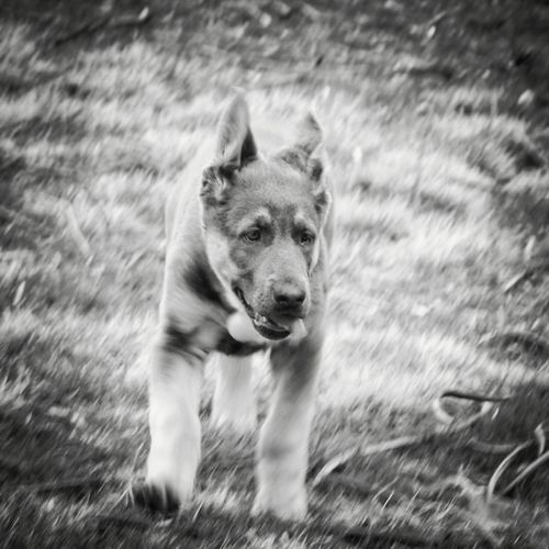 T'Kira: Blue German Shepherd Puppy in Black and White Dog In Grass City Dog Dog Photography Dog Dogs Of EyeEm Pets Animals Blue German Shepherd Black And White Photography Blue Shepherd Blackandwhite German Shepherd GSD Gsdpuppy Puppy Love Puppy Portrait Grass