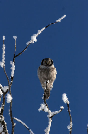 Surnia Ulula Animal Themes Animals In The Wild Beauty In Nature Bird Bird Of Prey Branch Cold Temperature Hawk Owl Snow Tree