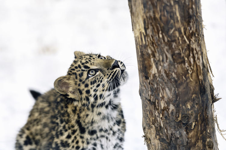 leopard looking up at the tree on snow Hokkaido Japan Nature Zoo Animal Animal On Snow Animal Wildlife Animals In The Wild Big Cat Cat Close-up Feline Leopard Lookingup Mammal One Animal Tree Wildlife